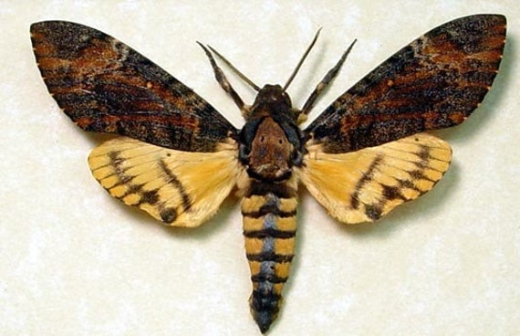 DEATHS HEAD MOTH SILENCE OF THE LAMBS FREE SHIP