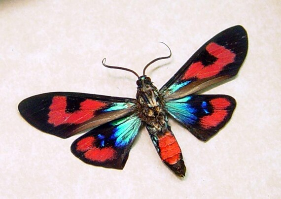 Metallic Blue Red Day Flying Moth Conservation Display 284v