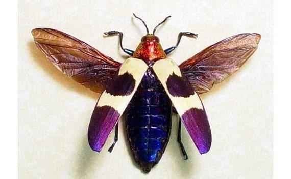 Great Birthday Gift Real Flying Purple Jewel Beetle Display 2105F