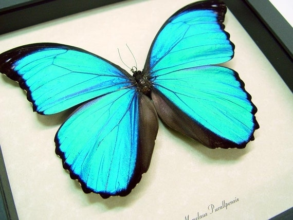 Sealed Conservation Quality Blue Morpho Butterfly Display 7848