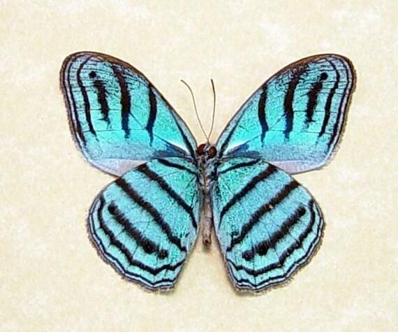 Sky Blue Real Framed Butterfly Conservation Display 7871V