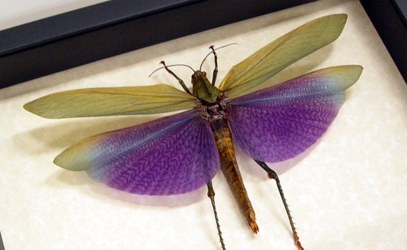 Real Purple Grasshopper Conservation Quality Display 7736