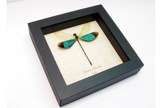 Real Emerald Green Dragonfly Damselfly Display 7797
