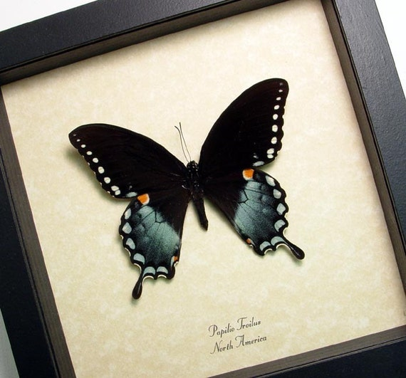Papilio Troilus N American Conservation Framed Butterfly 546