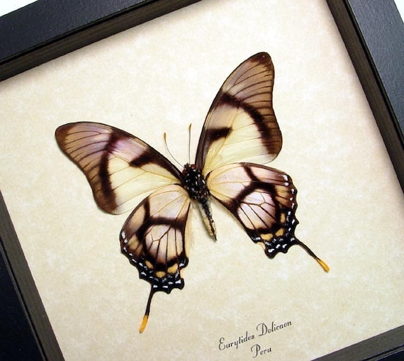 Real Conservation Quality Framed Butterfly Display 495