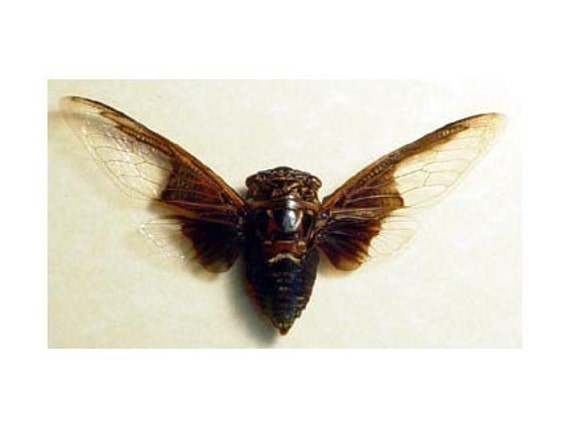 Real Bat Wing Cicada Conservation Framed Display 2163