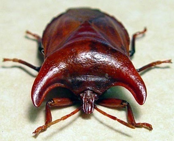 Strange Real Framed Bull Horn Beetle Display 7798