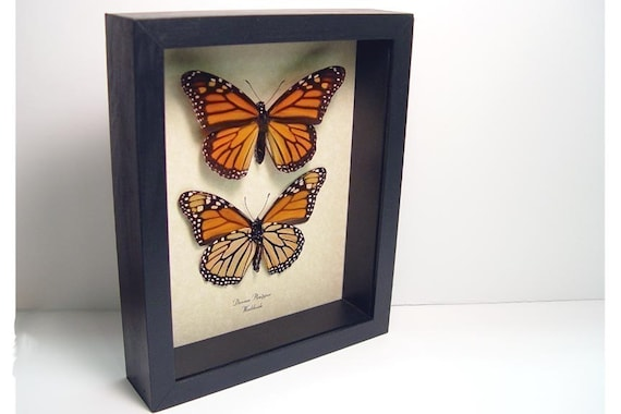 Danaus Plexippus The Monarch Butterfly Pair Framed 111s