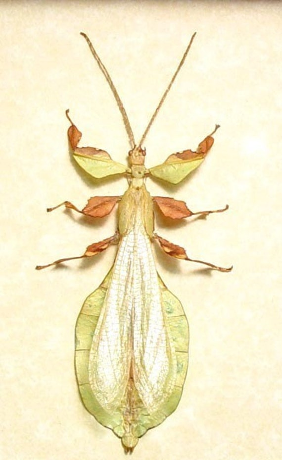 Real Green Fairy Winged Walking Stick Insect 2157