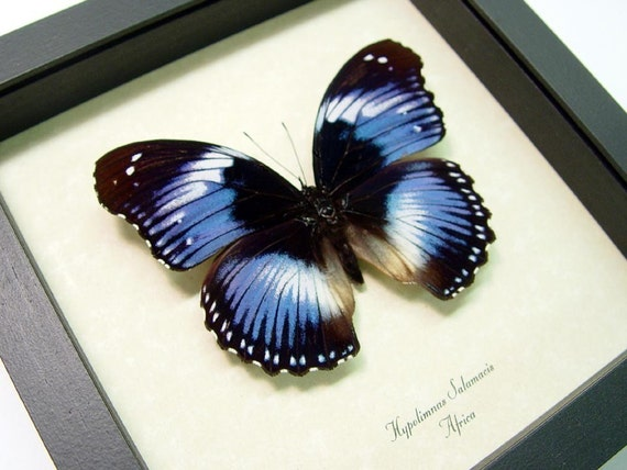 Real Lavender Purple African Butterfly Display 697