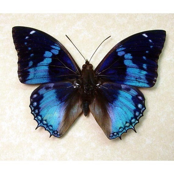 Best Seller For 13 Years Real Blue Butterfly Display 202