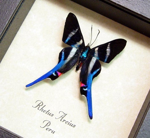 Rhetus Arcius Real Conservation Framed Butterfly Display 354