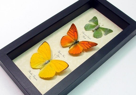 Real Framed Butterfly Citrus Collection free ship 7897