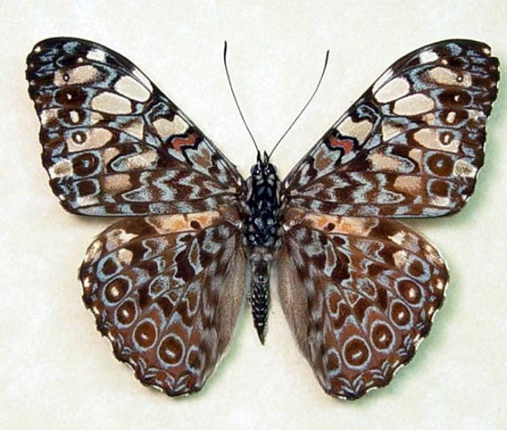 Blue Hamadryas Real Paisely Framed Butterfly 7938