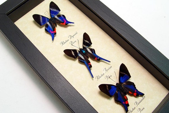 Real Framed Butterflies 3 Sapphire Blue Rhetus Set 1065
