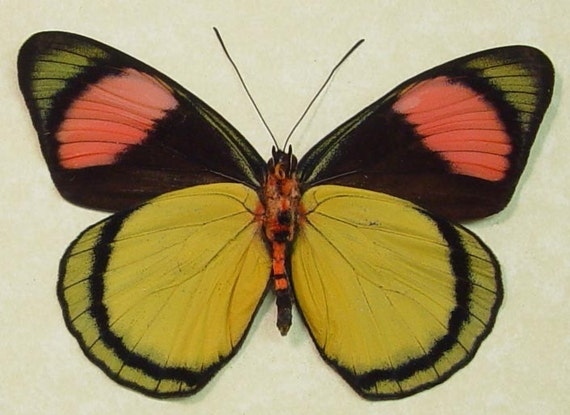 Real Yellow Pink Clown Butterfly Conservation Display 281V