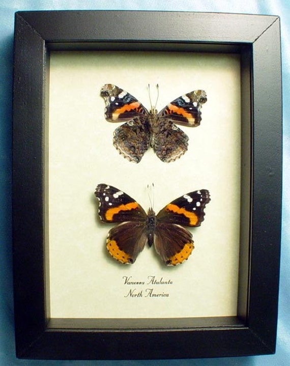 Red Admiral Vanessa Atalanta Pair Butterfly 6286