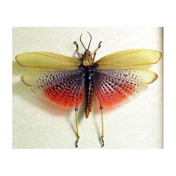 Real Framed Rare African Rainbow Grasshopper Shadowbox Display 7730