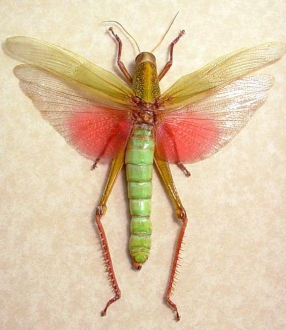 Giant Female Green Pink Real Framed Grasshopper 7995