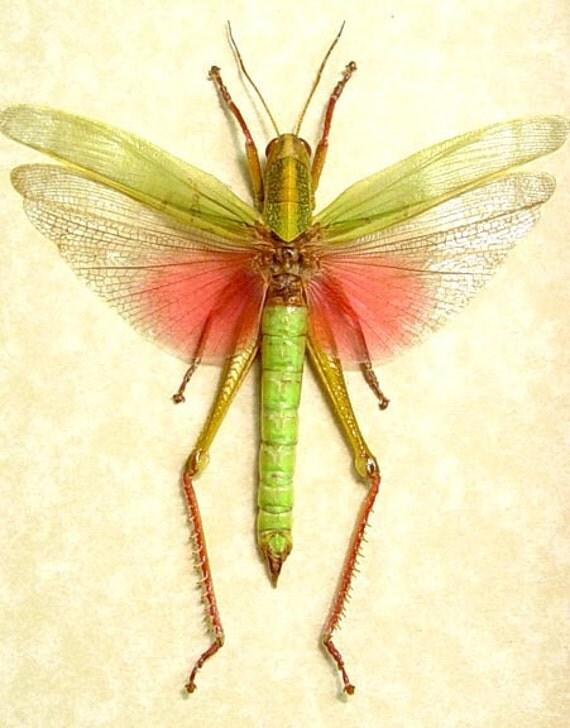 Green Pink Real Framed Male Grasshopper Display 7996