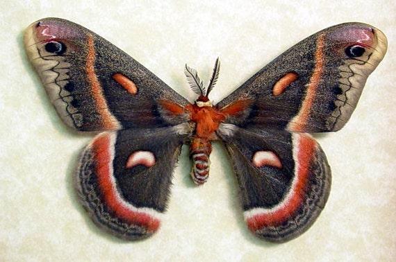 Real Framed Hyalophora Cecropia Male Silk Moth 1028m