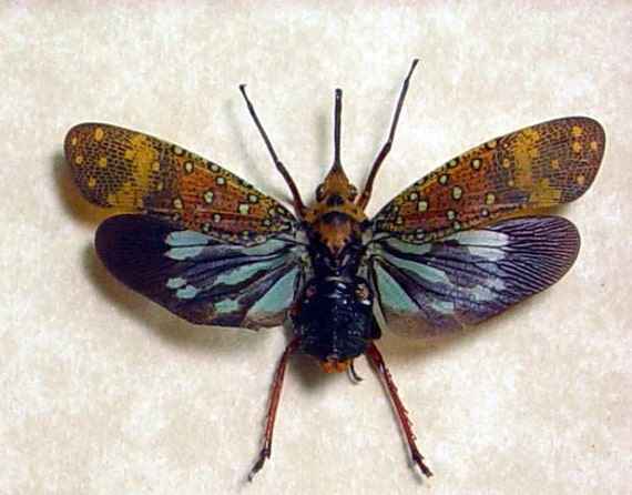 Savia Bullata Real Blue Long Nose Lanternfly Insect 8038