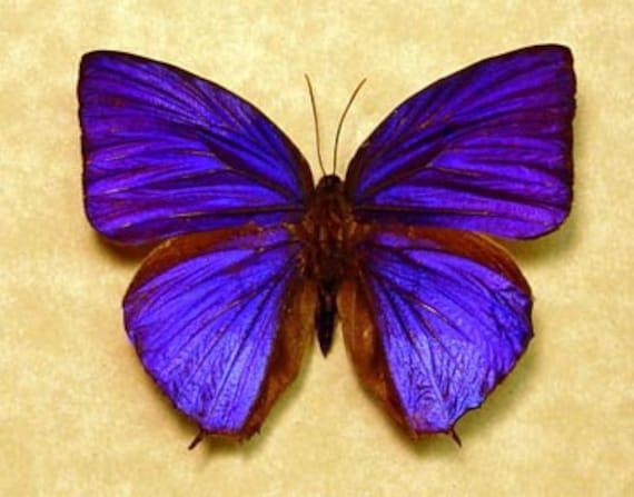 Arhopala Hercules Real Rare Purple Butterfly by ...