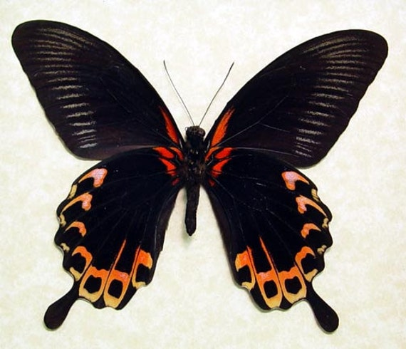 Giant Tequila Sunrise Swallowtail Papilio Deiphobus Real Framed Butterfly 8049V