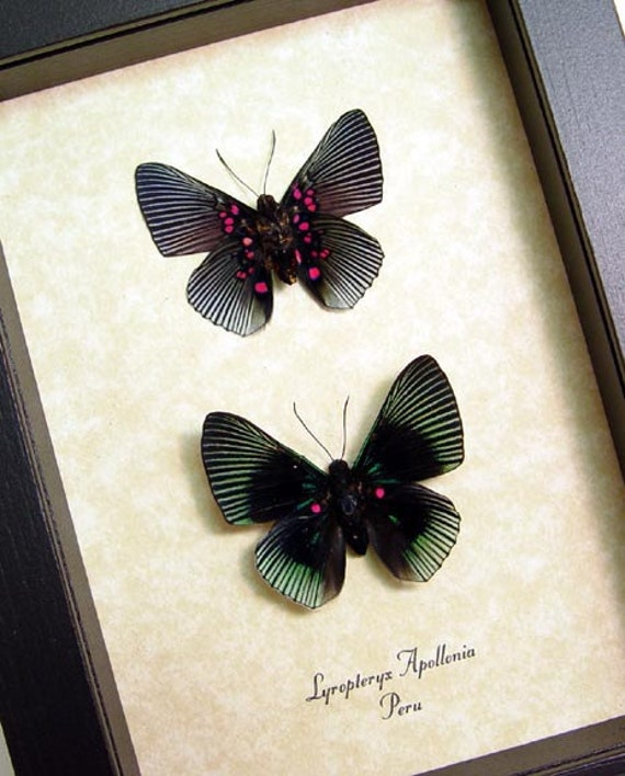 Blue Rayed Pink Spotted Metalmark Lyropteryx Apollonia Real Framed Butterflies 474P