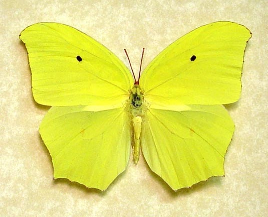 Jamaica Butterfly Yellow Angled Sulpher Anteos Maerula Real