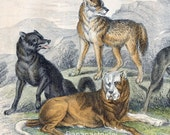 1853 Rare Antique Goldsmith Hand Coloured Copper Plate Engraving of Wolves and Dogs