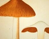1912 Antique Coloured Plate of Elegant Mushrooms. Cortinarius subferrugineus. Cortinarius jubarinus