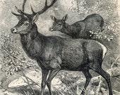 1894 German Antique Engraving of Deer