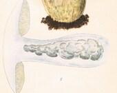 1912 Antique Coloured Plate of Elegant Mushrooms. Suillus cyanescens