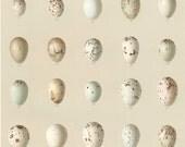 1895 Antique Rare Large Brilliantly Coloured Chromolithograph of Bobolink, Cowbird, Blackbird, Meadowlark, and Oriole Eggs. Plate no. 6