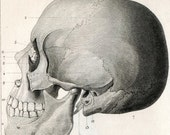 1851 Antique Steel Engraving of Skulls. Front, Rear, and Side Views. Plate 121