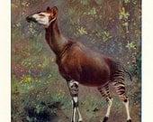 1902 Antique Print of an Okapi