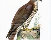 1962 German Vintage Print of the European Honey Buzzard