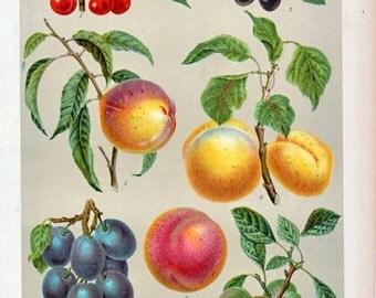 1894 German Vintage Botanical Print of Stone Fruits - Chromolithograph