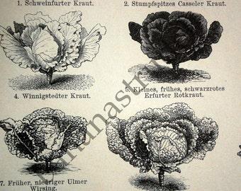 1897 German Vintage Botanical Print of Vegetables. No. 1 - Engraving