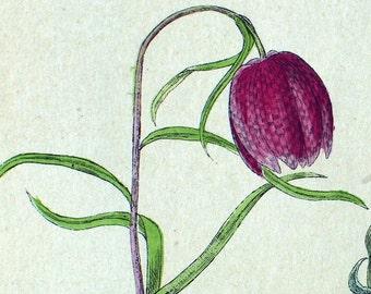 1881 Vintage Botanical Print of Flowers - Handcolored (26)