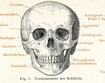Antique Map of Skeletons - 1895 German Anatomy Engraving