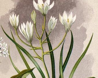 1901 Vintage Botanical Print No. 22 - Chromolithograph