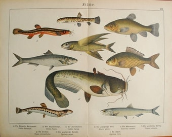 Antique Print of Carp, Catfish, Flying Fish, and Other Fish - 1886 Antique Large Chromolithograph