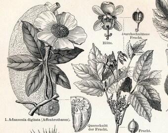 1897 Vintage Botanical Print of Food Plants. No. 2. - Engraving