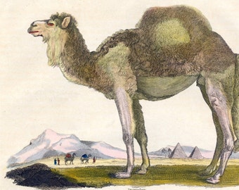 Antique Print of Camels - 1828 Hand Coloured Lithograph