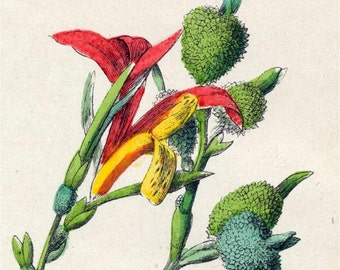 1881 Vintage Botanical Print - Handcolored - Print no. 2