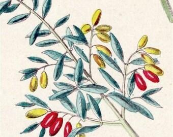1881 Vintage Botanical Print  (3)