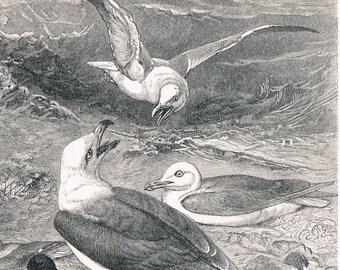 1895 German Antique Engraving of Seagulls