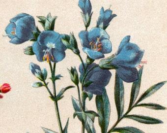 Antique Botanical Print - Azalea - Jacob's Ladder - Creeping Jenny - 1901 Chromolithograph - Vintage Print